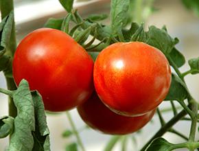 Cà chua vùng nhiệt đới