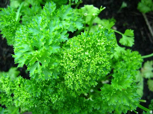 Ngò tây (Parsley)